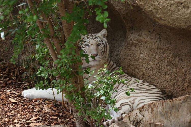 Portrait of white tiger relaxing by rock formation