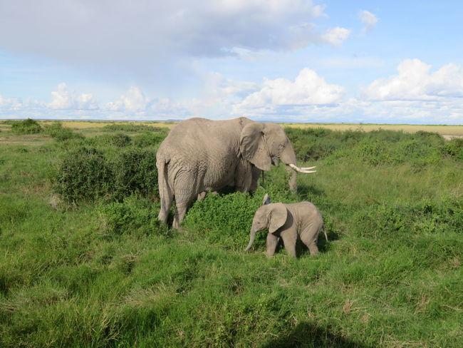 Safari Animals Animal Wildlife Young Animal Nature Herbivorous Animals In The Wild Outdoors Africa Kenya Nairobi Elephant Gaming Mount Kilimanjaro