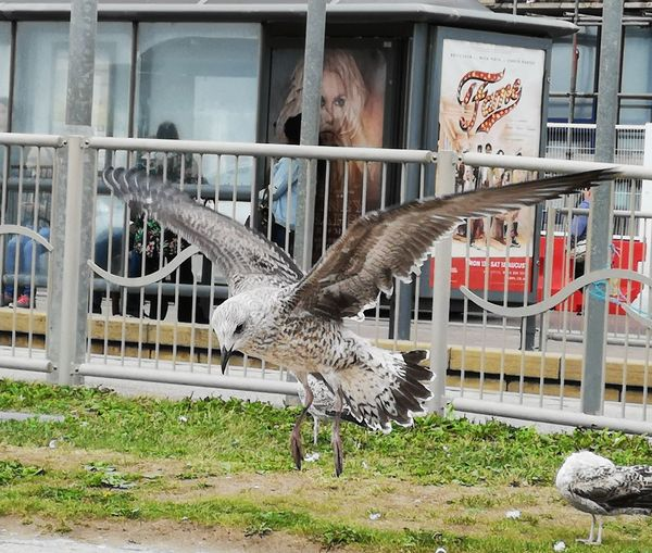 Landing in Blackpool Bird Cage Grass
