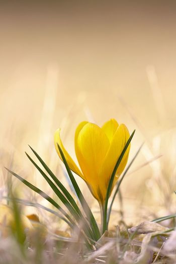 Crocus vernus, Spring in Germany Beauty In Nature Close-up Crocus Day Flower Flower Head Fragility Freshness Growth Nature No People Outdoors Petal Plant Selective Focus Springtime Yellow