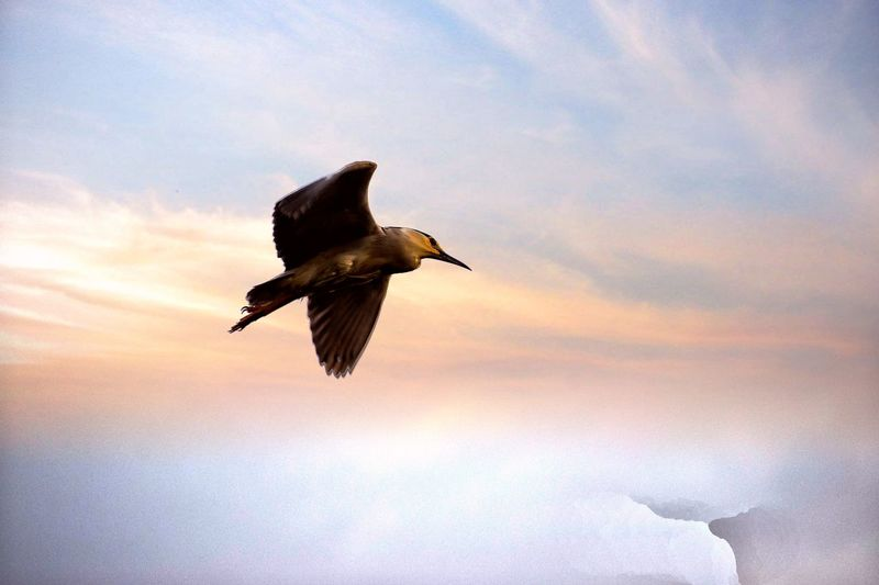 Bird Animal Wildlife Flying Animals In The Wild Bird Of Prey Cloud - Sky One Animal Sky Nature Outdoors Spread Wings Sunset No People Mid-air Animal Themes Beauty In Nature Hawk - Bird Low Angle View Full Length Day Clear Sky Bald Eagle EyeEm Selects The Week On EyeEm Vulture
