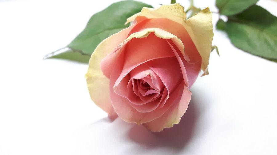 Pink rose *4