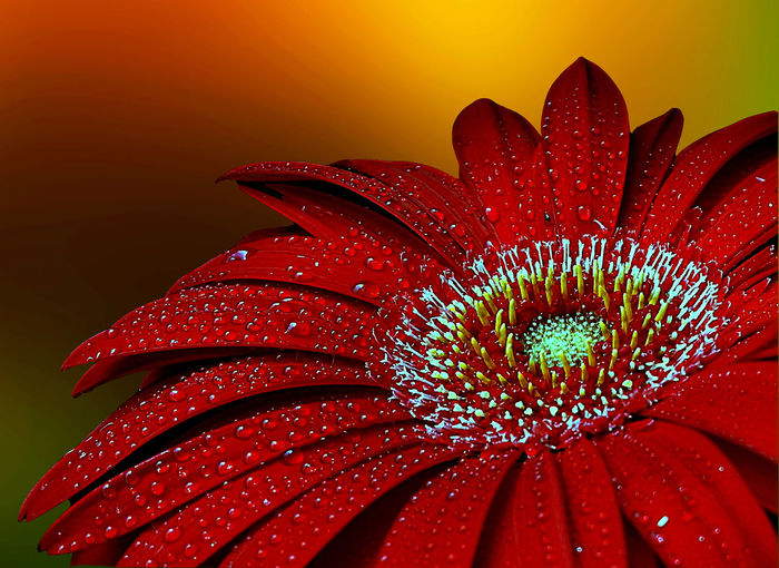 Blooming Blossom Close-up Flower Nature Petal Red Red Gerbera Home Is Where The Art Is. Colour Of Life