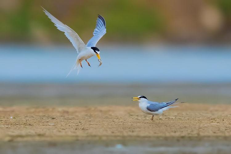 【白额燕鸥】一旦发现目标,立马展