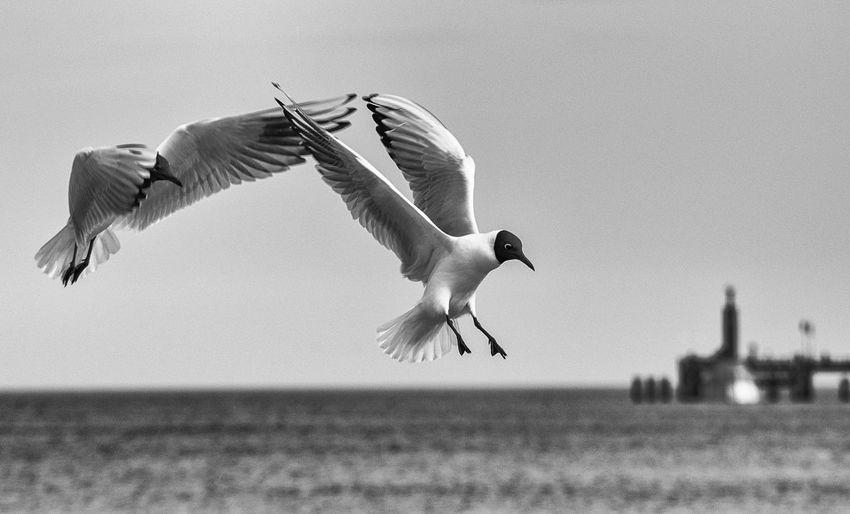 Animal Themes Animals In The Wild Birds Birds In Flight Black & White Focus On Foreground Motion Seagull Spread Wings Animal Animals Bird Bird Photography