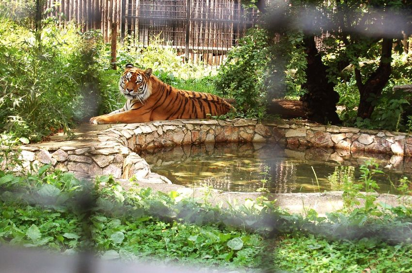 Big Kitty Tiger Chilling