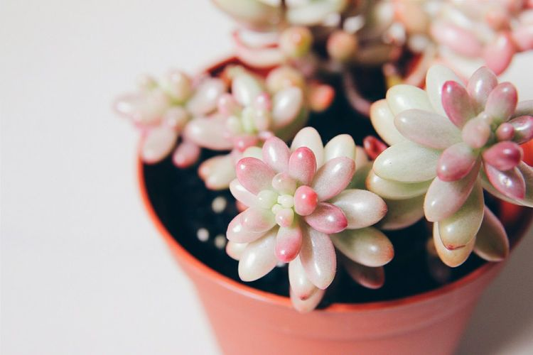Pink Jellybean Succulent happy to see it's growing healthily :)