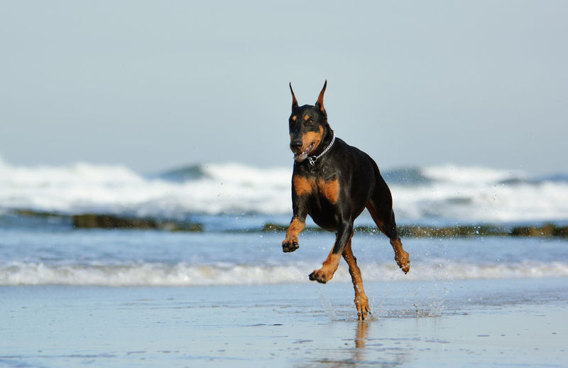 Doberman Pinscher running on ocean beach One Animal Dog Canine Pets Domestic Animals Animal Themes Beach Sea Water Wave No People Day Running Motion Animal Doberman Pinscher Dobermann Doberman  Black And Tan Cropped