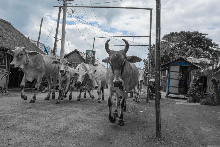 Cows Bull Cattle Burmese Village Burma Burmese Inle Lake Shan State