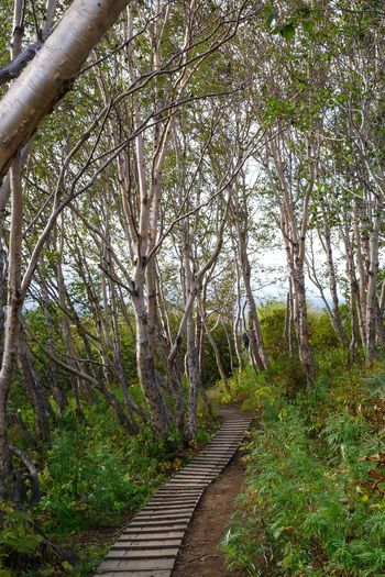 Kamchatka birches Beauty In Nature Birch Trees Day Forest Grove Landscape Nature No People Outdoors Scenics Sky The Way Forward Tranquil Scene Tranquility Tree Walkway