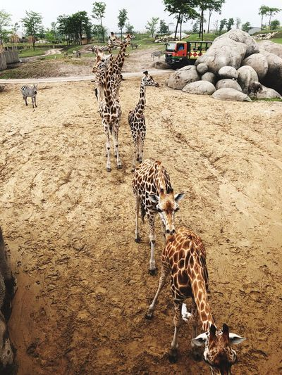 Giraffen in der Serenga im Wildlands Adventure Zoo Emmen Land Sand Beach Nature Day No People Sunlight Beauty In Nature Animal Animal Themes Plastic Environment - LIMEX IMAGINE The Great Outdoors - 2018 EyeEm Awards