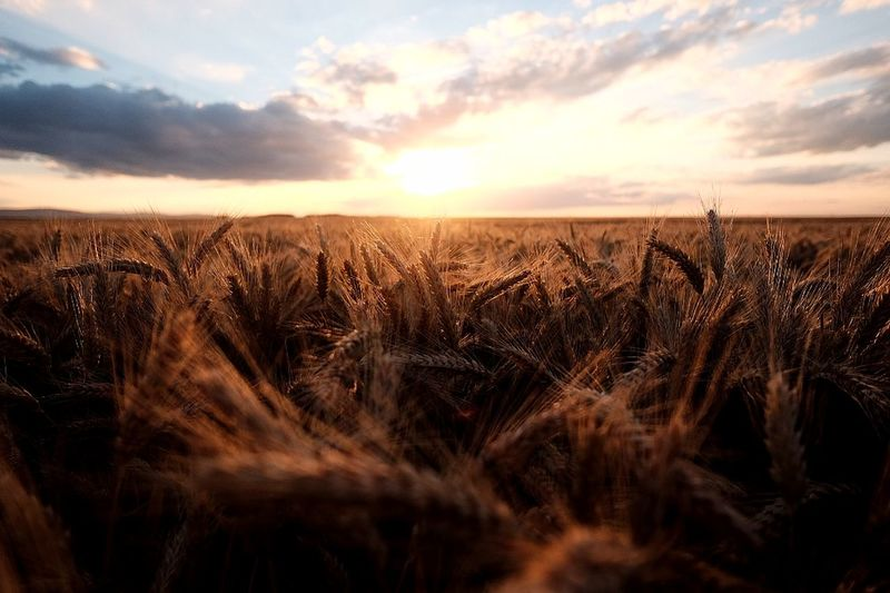Agriculture Beauty In Nature Cereal Plant Close-up Crop  Day Farm Field Growth Landscape Nature No People Outdoors Plant Rural Scene Scenics Sky Sunset Tranquil Scene Tranquility Wheat