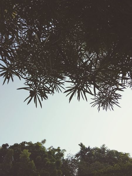 backgroun Backgroun Tree Water Branch Sky Treetop Tree Area Growing Pine Tree Single Tree Long Shadow - Shadow Coniferous Tree Tree Canopy  Pine Woodland Pinaceae Needle - Plant Part Fir Tree WoodLand Glade Dense Pine Cone
