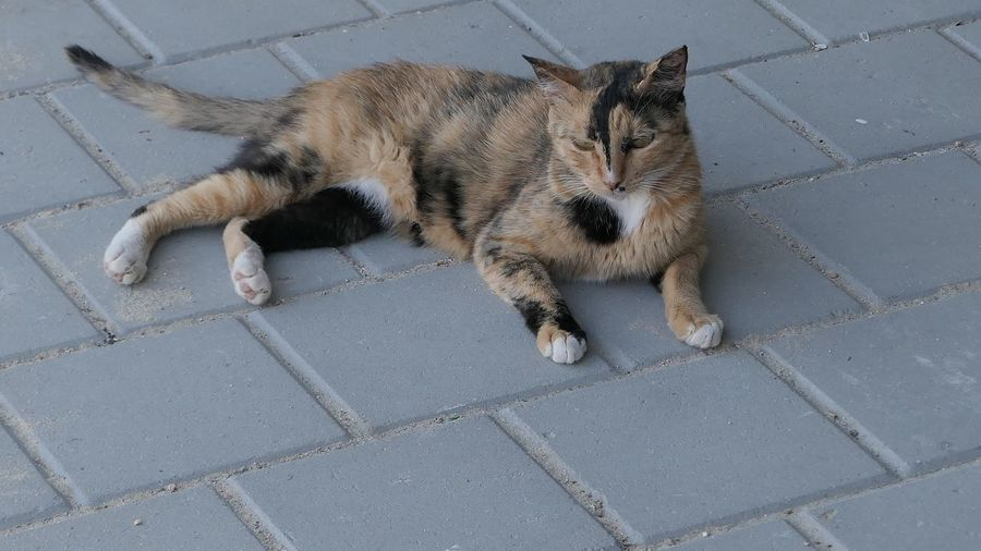 City Mammal Animal Themes Animal High Angle View One Animal Pets Feline Footpath Domestic Animals Cat Domestic Cat No People Day Outdoors Street Lying Down Sidewalk