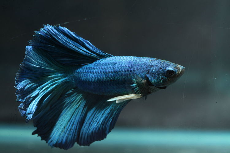 Close-up of blue siamese fighting fish swimming in aquarium