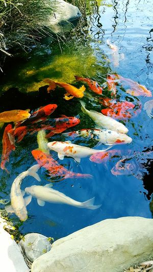 Koi Fish Outdoors Thousand Oaks Gardens Of The World Beauty In Nature Southern California No People Animal Wildlife