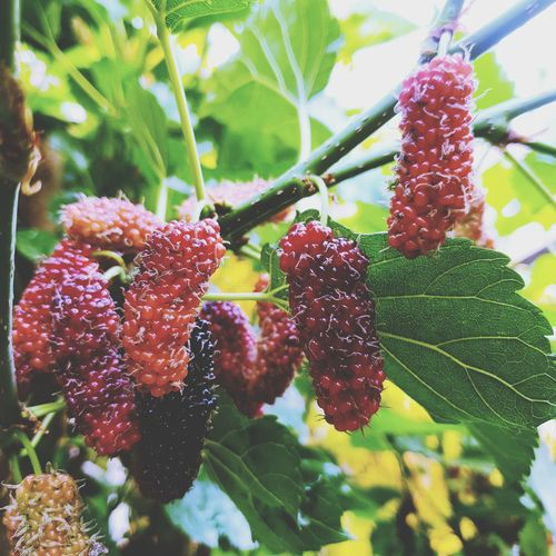 Selective Focus Young Mulberry Friut On Tree. Mulberry Mulberries Food Fruit Red Leaf Red Close-up Plant Green Color