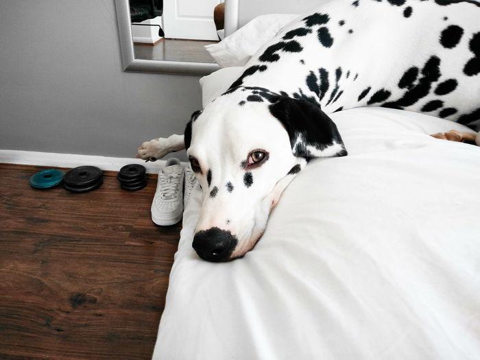 Portrait Of Dalmatian Dog Lying On Bed