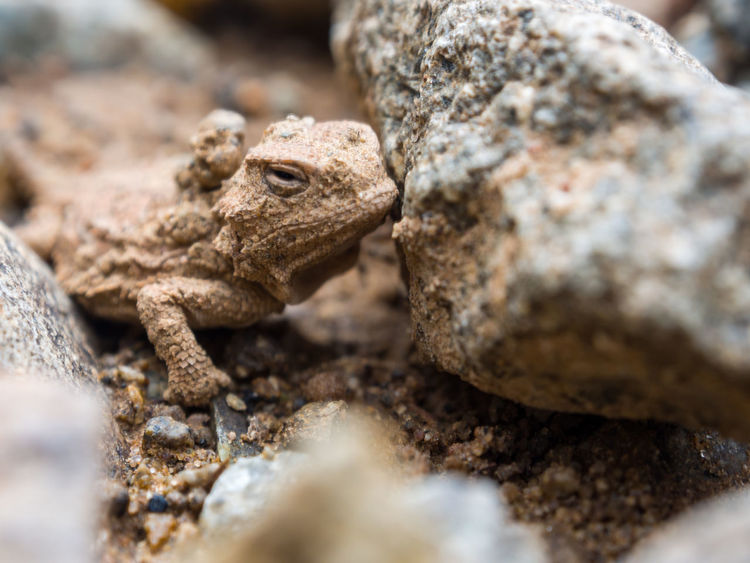 A small horned toad lizard hiding among rocks, close up. Reptile Wildlife Animal One Animal Animals In The Wild Animal Wildlife Vertebrate Selective Focus Rock - Object Nature Rock Lizard Close-up Animal Head  Animal Body Part No People Animal Eye Animal Scale Camouflage Horny Toad Horned Toad Macro Close Up Lizard Rock