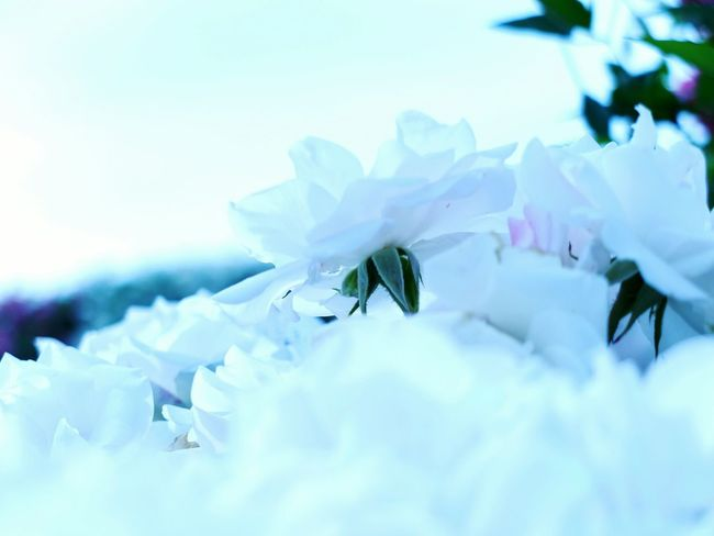 White in white EyeEm Nature Lover Flowers Getting Inspired Secret Garden Roses White Shine Hello World Smile Again