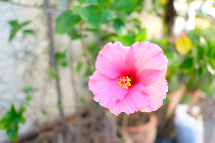 Flower Pink Color Petal Flower Head Nature Plant Beauty In Nature Close-up Outdoors Fragility Focus On Foreground Wild Rose No People Day Beauty Freshness Hibiscus