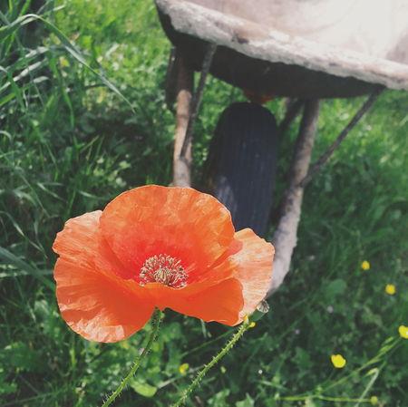 Back home where i born Campaign Poppies  Rural Scenes Nature