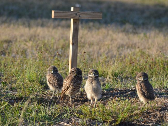 Burrowing Owl Owls Animal Wildlife Burrowing Owls Animals In The Wild Grass No People Day Bird Outdoors Nature Animal Themes Mammal Owlets Animal Lee County, Florida United States Brown Eye Burrowing Owl Cape Coral, Florida