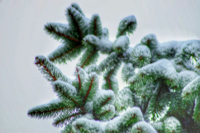 Winter Nature Tree Cold Temperature Beauty In Nature Snow Close-up No People Branch Day Needle - Plant Part Outdoors EyeEm Nature Collection EyeEm Nature Lover Nature At Your Doorstep Pine Tree Pinaceae Tree Snow ❄