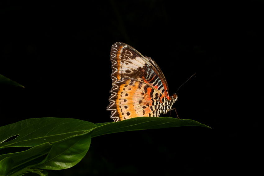 Flying Insects Animal Themes Animals In The Wild Beauty In Nature Black Background Butterflies Of Malaysia; Butterfly - Insect Cethosia Cyane Insect Lacewing Butterf Leaf Leopard Lacewing Macro Photography Malaysian Butterfly. Male Nature Nature Photography Night No People Outdoors
