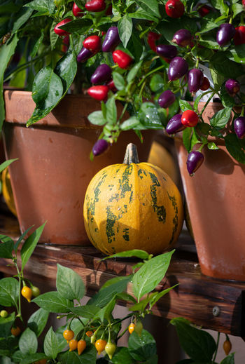 Close-up of pumpkin growing on plant