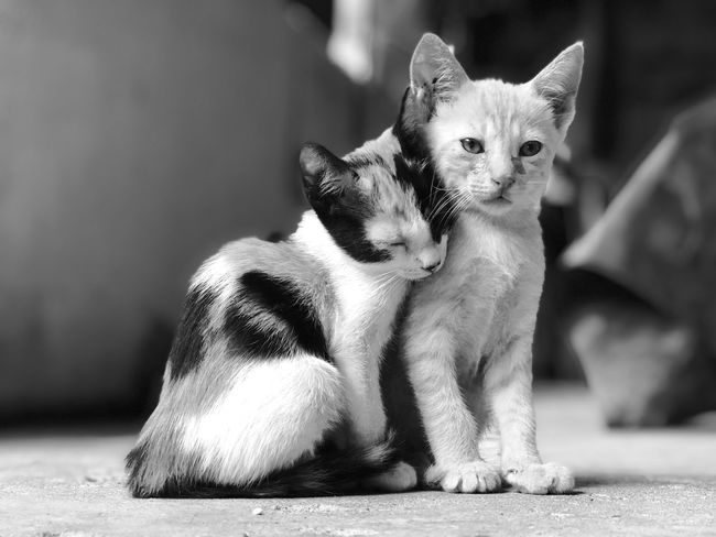 Brother love Blackandwhite Portrait Iphone8plus Domestic Pets Mammal Domestic Animals Cat Animal Animal Themes Domestic Cat Feline Vertebrate Group Of Animals Young Animal Two Animals Focus On Foreground Kitten No People Looking At Camera Togetherness Portrait Whisker
