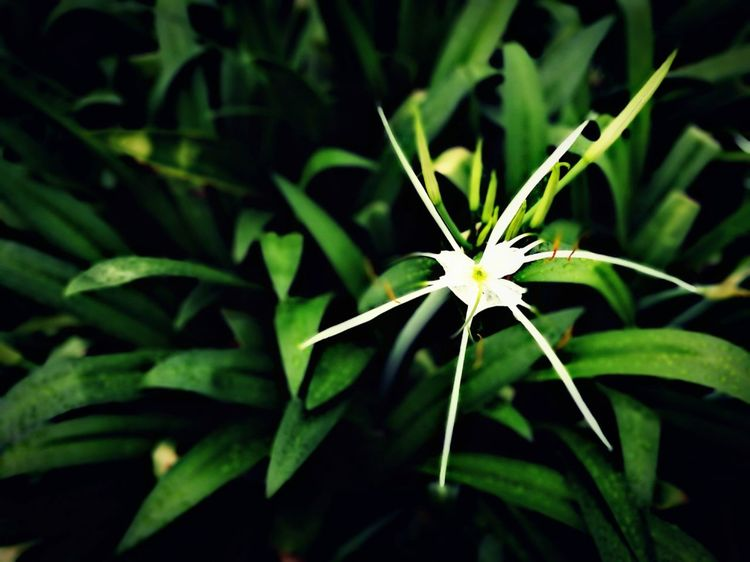 Beauty In Nature Blooming Close-up Day Flora Flower Fragility Freshness Growth Leaf Nature No People Outdoors Plant Spring Star Flower White Flower