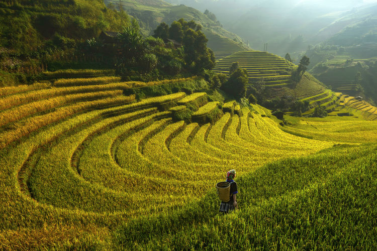 Rice terraces in sunrice ,Sa pa ,Vietnam Adult Agriculture Curve Day Farm Farmer Field Growth Horticulture Landscape Men Mountain Nature One Person Outdoors People Plant Rice - Cereal Plant Rice Paddy Rough Terraced Field