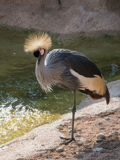 Profile image of a gray crowned crane, vertical image of an african bird