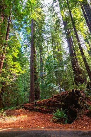 Redwoods Tree Forest Tree Trunk Sky Green Color Growing Woods Plant Life Tree Canopy  Lush Foliage Green