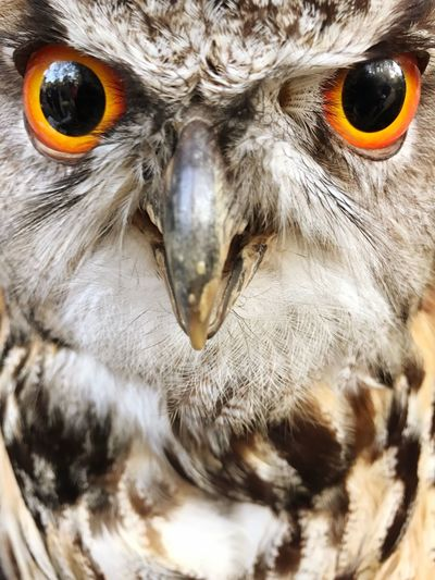 Eagle-owl Owl Bird Looking At Camera Close-up One Animal Portrait No People Nature Outdoors