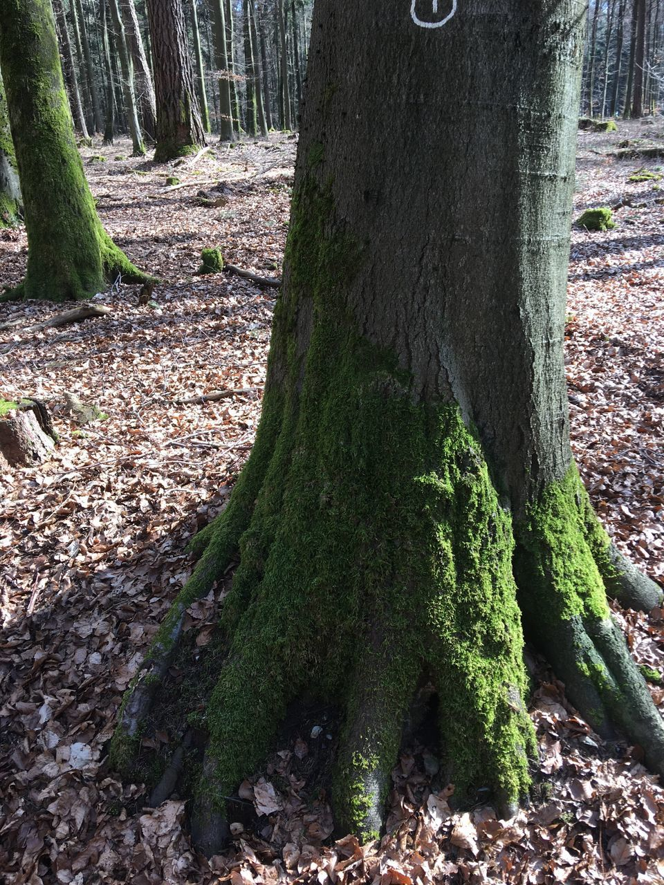 tree trunk, tree, forest, nature, day, outdoors, no people, woodland, growth, tranquility, moss, beauty in nature, close-up