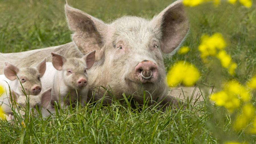 Happy Pigs Mammal Animal Animal Themes Grass Pig Nature Outdoors Happy Piglet 🐷🐽 Piglets Pork Pork Meat Piggy Farming Farming Life Livestock No People
