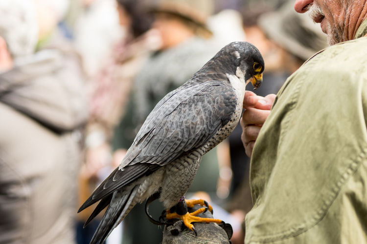 Peregrine falcon sitting on the glove of his owner the hunter
