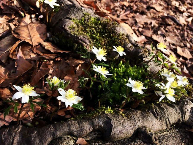 Dry Leaves Spring Walk Summer Flowers Beauty In Nature Close-up Day Flower Flower Head Fragility Freshness Growth Leaf Mobile Photography Nature No People Outdoors Plant Roots Of Tree Summer White Flowers Winter And Summer
