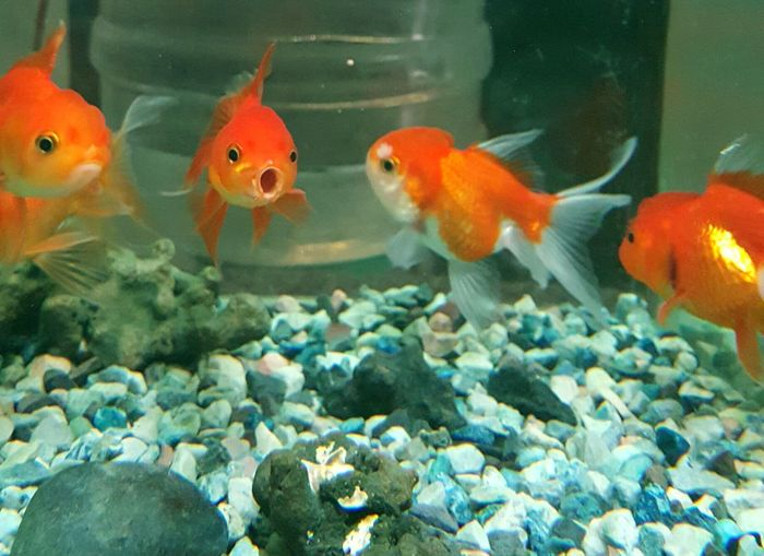 Are they talking??? Hi! Hello World Check This Out Taking Photos EyeEm Gallery Eyeem Photography Mouth Open Red Goldfish Fantail Fantail Fish Gold Fish In A Glass Tank Goldfish In Water Goldfish Aquarium Life Aquarium Fish Photography Basking Fish Basking