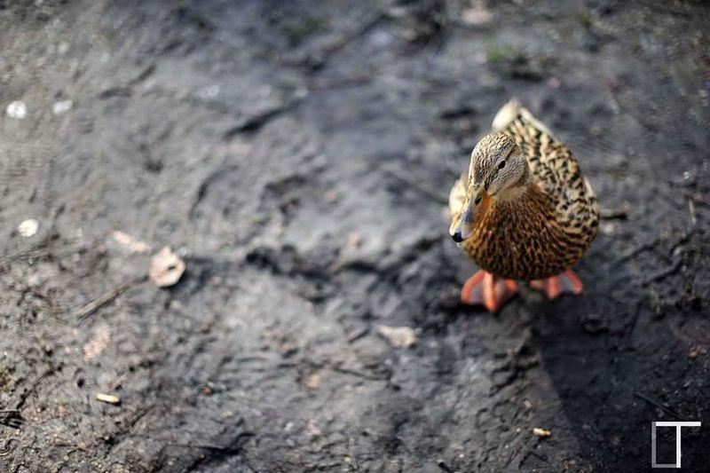 Duck Amsrerdam Vondelpark Streetphotography Street Photography Curious 50mm 1.4