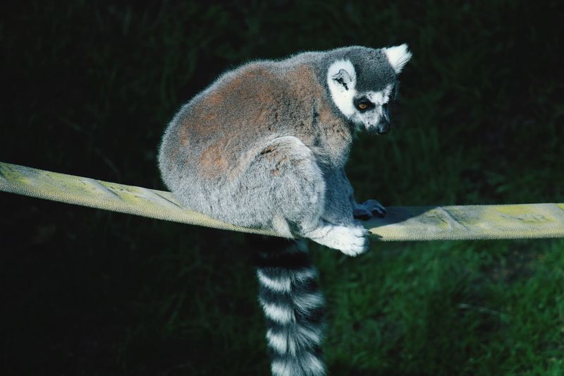 Ring-tailed lemur on railing over field