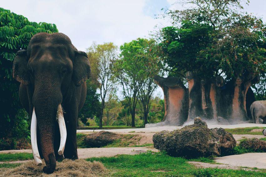 Elephant eating lunch Indian Elephant Elephant Animal Trunk Tusk Animal Wildlife Outdoors Mammal African Elephant Safari Animals Nature EyeEmNewHere
