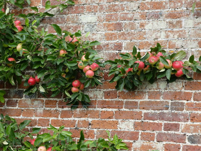 Apples Architecture Brick Wall Built Structure Close-up Day Freshness Fruits Green Green Color Growing Growth Nature No People Outdoors Plant Red Stone Wall Wall - Building Feature