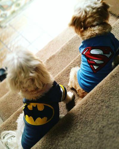 Dogstagram Dogslife Batmanvssuperman Batman Superman Superfriends Superheroes Supercute Superdog Dccomics