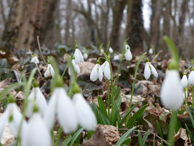Beauty In Nature Flower Growth Nature Snowdrop Spring Spring Has Arrived