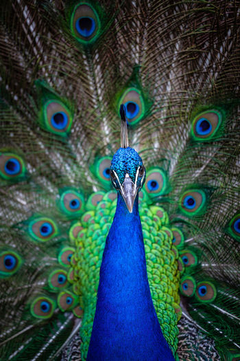 Animal Beak Close-up Feather  Majestic Pride Tail Turquoise Wildlife Background Beautiful Beauty Bird Blue Bright Character Closeup Color Colorful Courting Elégance Elegant Feathers Green HEAD Male Nature Ornamented Pattern Peacock Peafowl Plumage Portrait Showing Train Tropical Vibrant