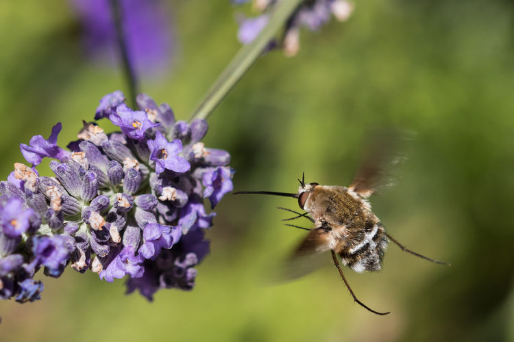 Bee Fly,