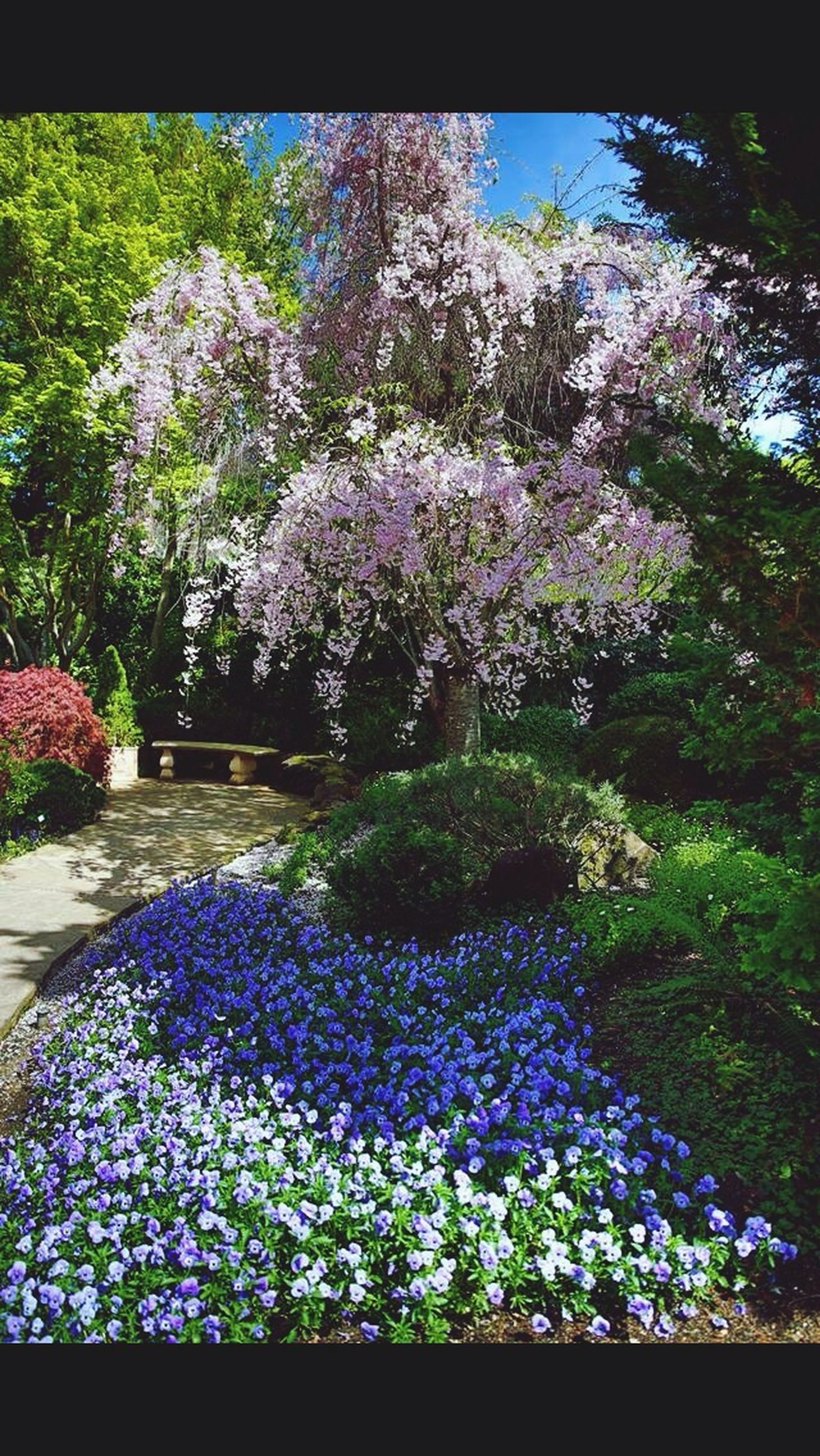 flower, growth, beauty in nature, freshness, fragility, tree, plant, nature, blooming, purple, blossom, petal, in bloom, pink color, park - man made space, day, abundance, outdoors, sunlight, no people
